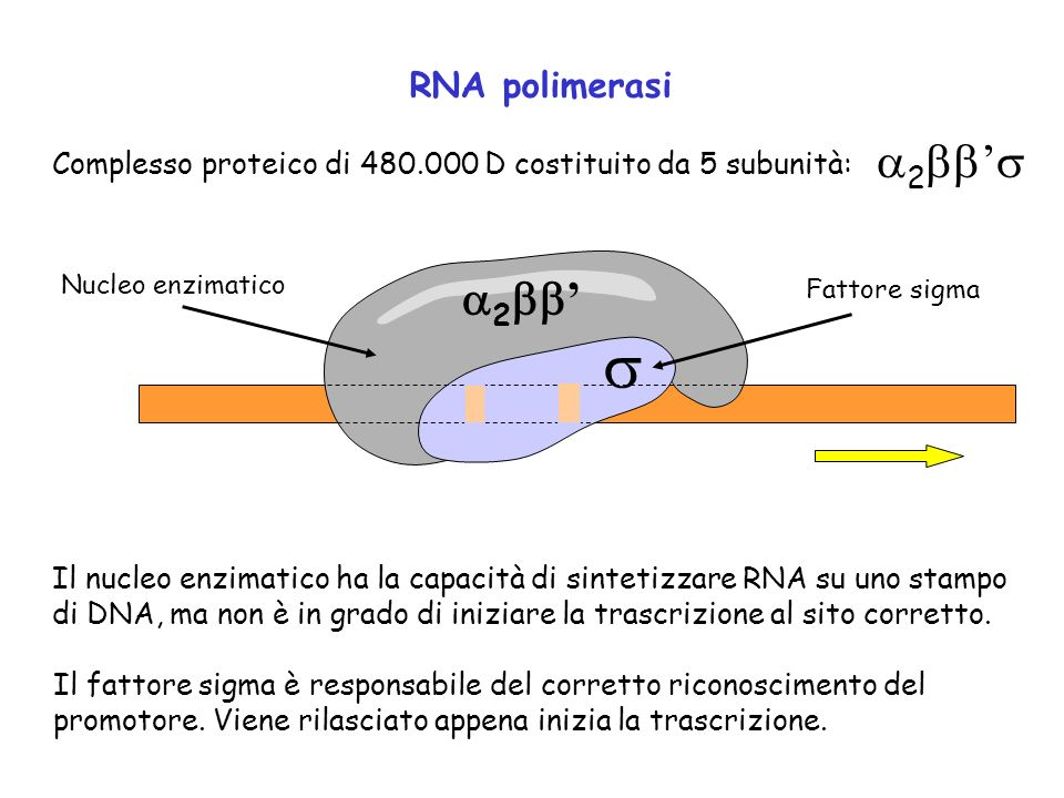 s a2bb's a2bb' RNA polimerasi