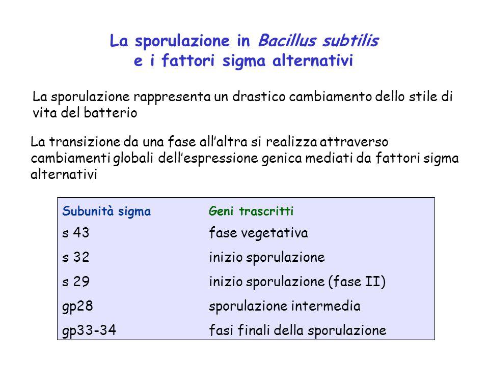 La sporulazione in Bacillus subtilis e i fattori sigma alternativi