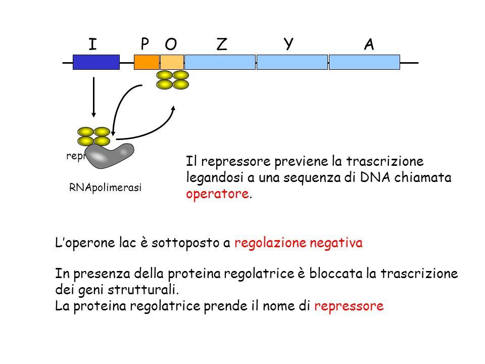 Z Y. A. O. P. I. repressore. RNApolimerasi. Il repressore previene la trascrizione legandosi a una sequenza di DNA chiamata operatore.
