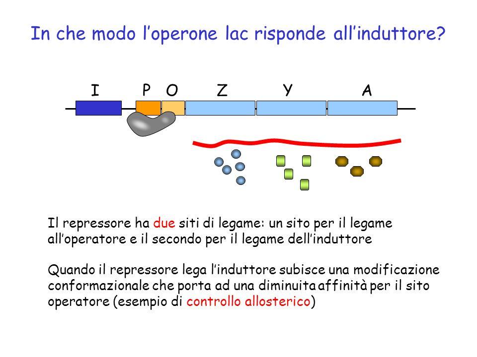 In che modo l'operone lac risponde all'induttore