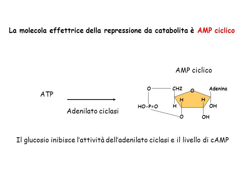 La molecola effettrice della repressione da catabolita è AMP ciclico