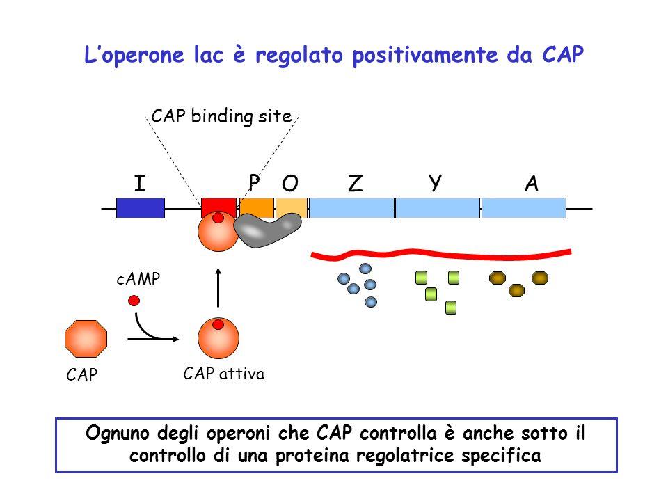 L'operone lac è regolato positivamente da CAP