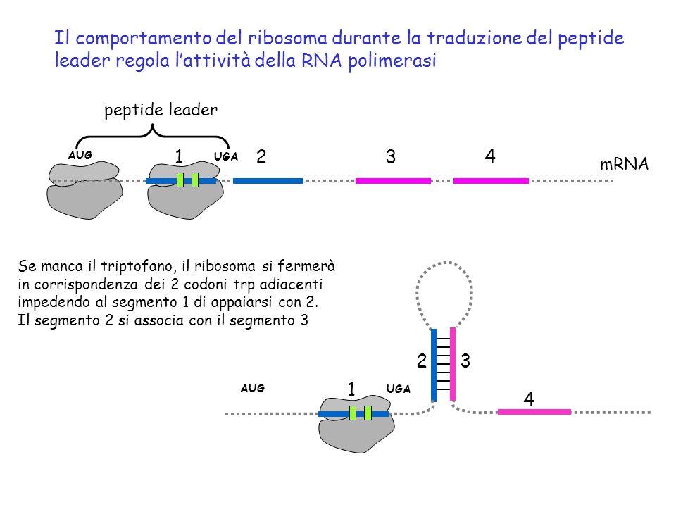 Il comportamento del ribosoma durante la traduzione del peptide leader regola l'attività della RNA polimerasi
