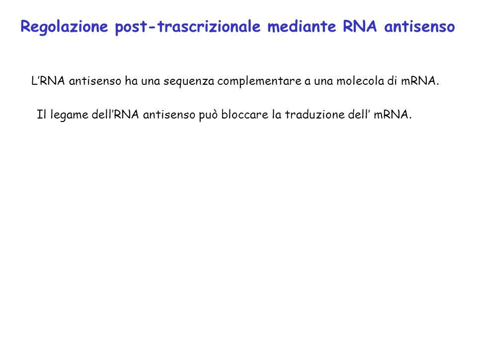 Regolazione post-trascrizionale mediante RNA antisenso