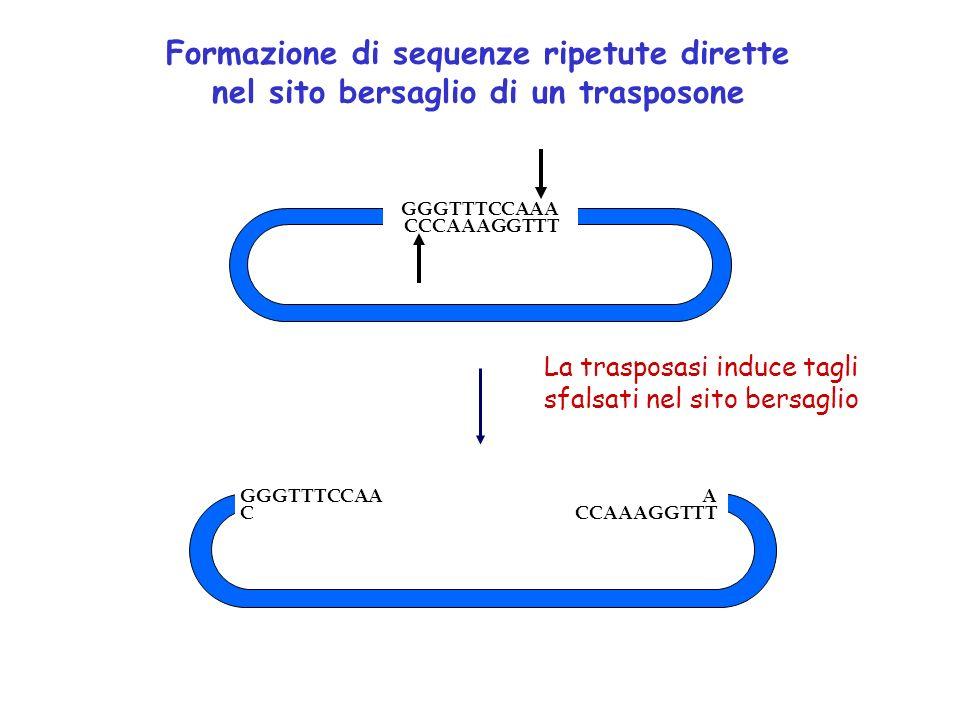 Formazione di sequenze ripetute dirette nel sito bersaglio di un trasposone