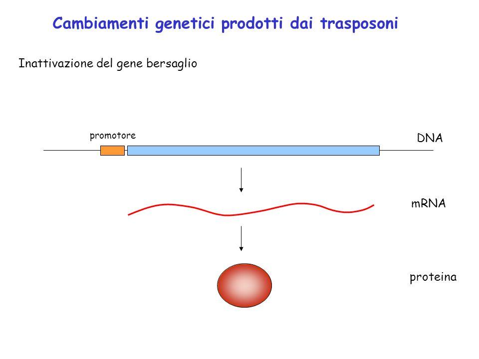Cambiamenti genetici prodotti dai trasposoni