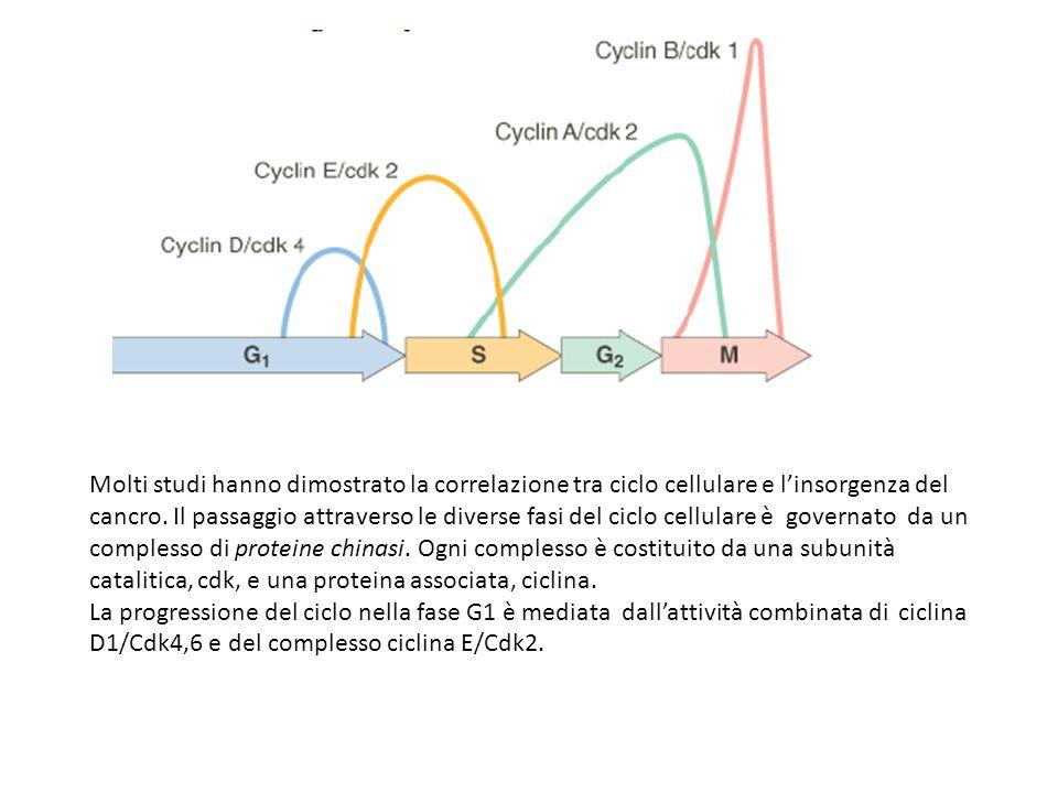 Molti studi hanno dimostrato la correlazione tra ciclo cellulare e l'insorgenza del cancro. Il passaggio attraverso le diverse fasi del ciclo cellulare è governato da un complesso di proteine chinasi. Ogni complesso è costituito da una subunità catalitica, cdk, e una proteina associata, ciclina.