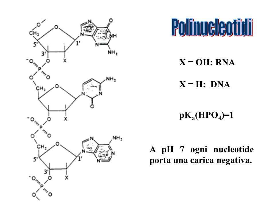 Polinucleotidi X = OH: RNA X = H: DNA pKa(HPO4)=1