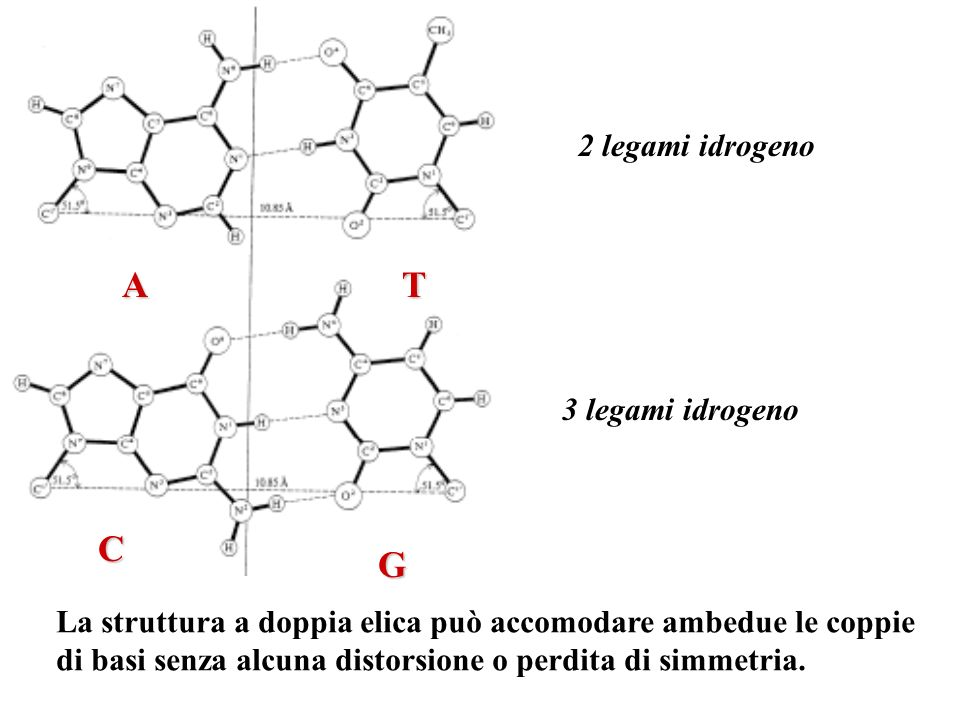 A T C G 2 legami idrogeno 3 legami idrogeno