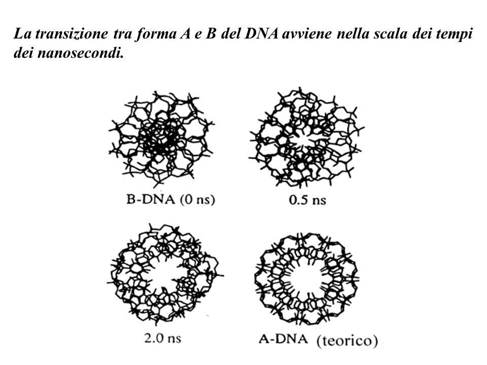 La transizione tra forma A e B del DNA avviene nella scala dei tempi dei nanosecondi.