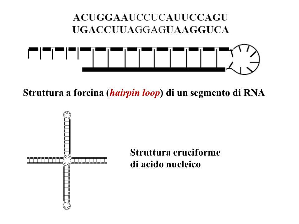 Struttura a forcina (hairpin loop) di un segmento di RNA