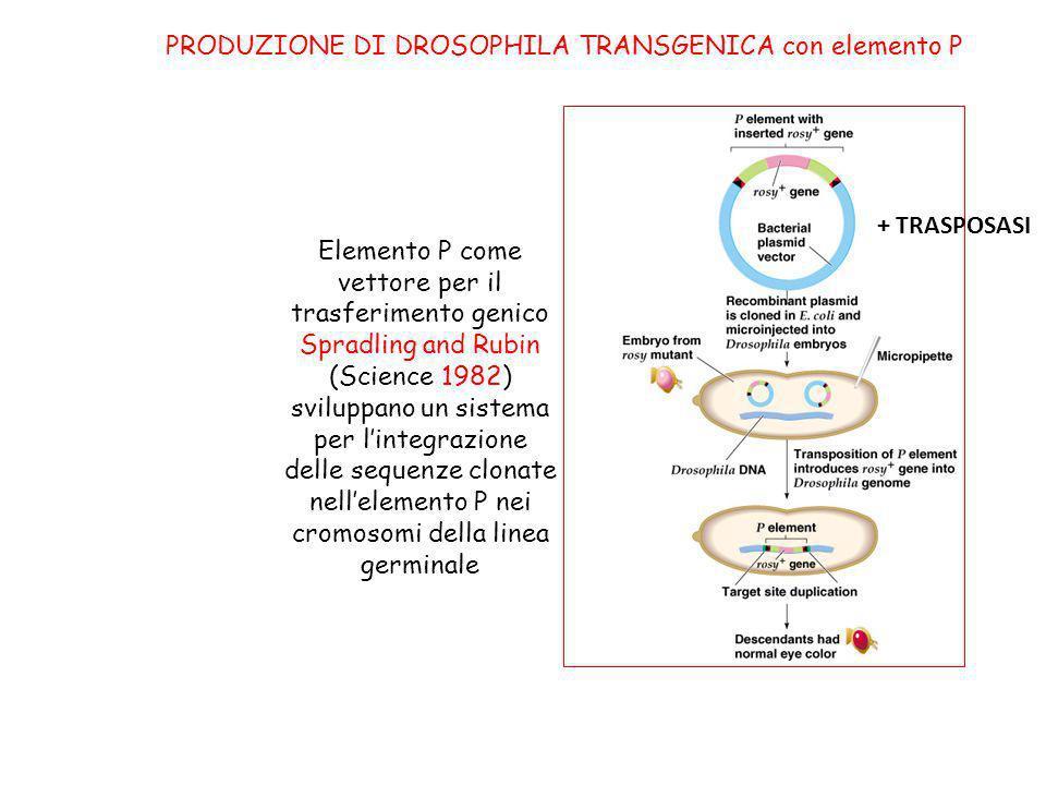 Elemento P come vettore per il trasferimento genico