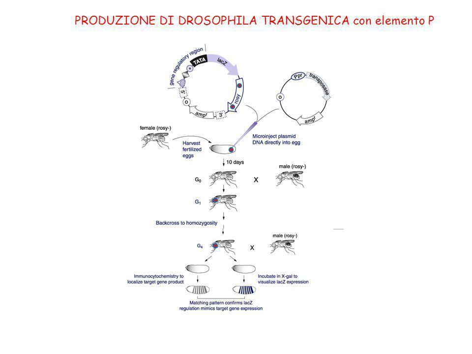 PRODUZIONE DI DROSOPHILA TRANSGENICA con elemento P