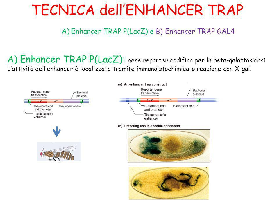 TECNICA dell'ENHANCER TRAP