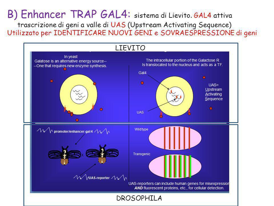 B) Enhancer TRAP GAL4: sistema di Lievito