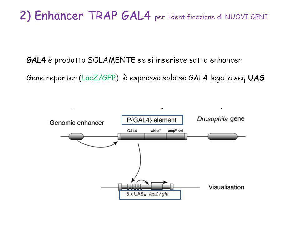 2) Enhancer TRAP GAL4 per identificazione di NUOVI GENI