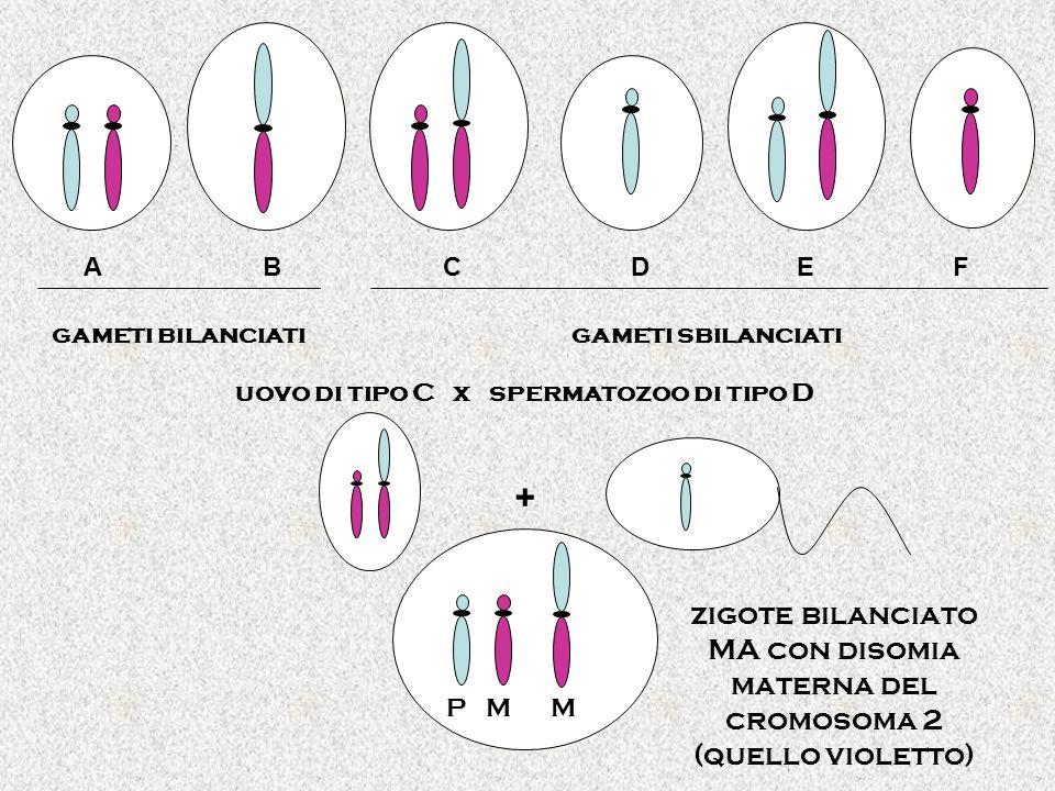 uovo di tipo C x spermatozoo di tipo D