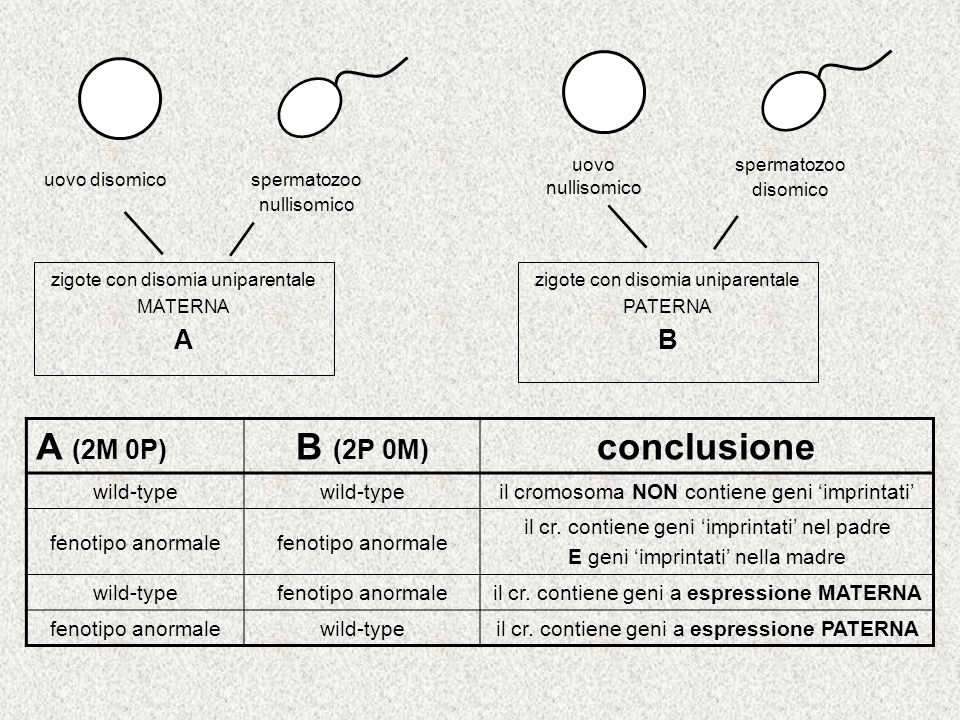 A (2M 0P) B (2P 0M) conclusione A B wild-type