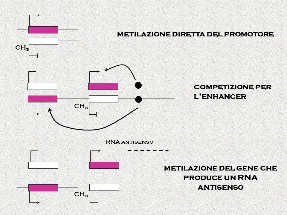 metilazione del gene che produce un RNA antisenso