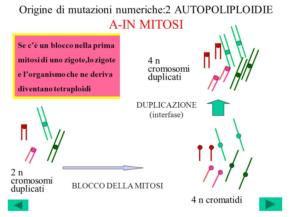 Origine di mutazioni numeriche:2 AUTOPOLIPLOIDIE A-IN MITOSI