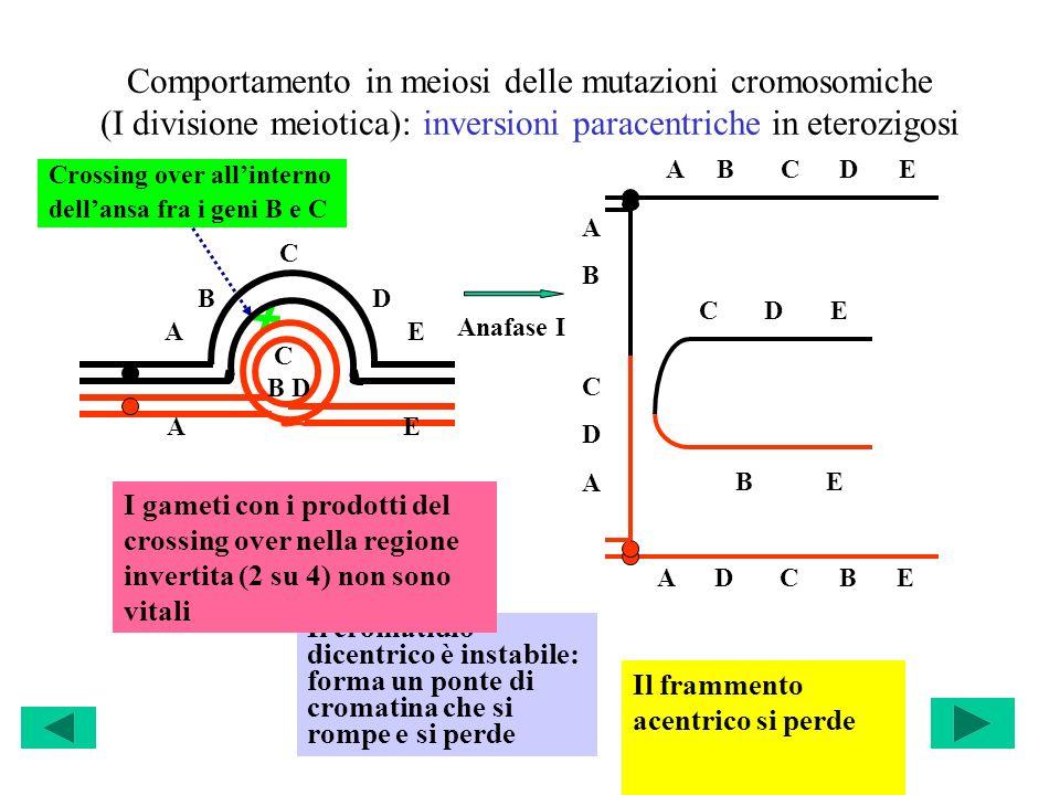 Comportamento in meiosi delle mutazioni cromosomiche (I divisione meiotica): inversioni paracentriche in eterozigosi