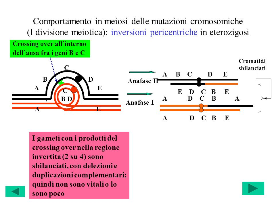 Comportamento in meiosi delle mutazioni cromosomiche (I divisione meiotica): inversioni pericentriche in eterozigosi