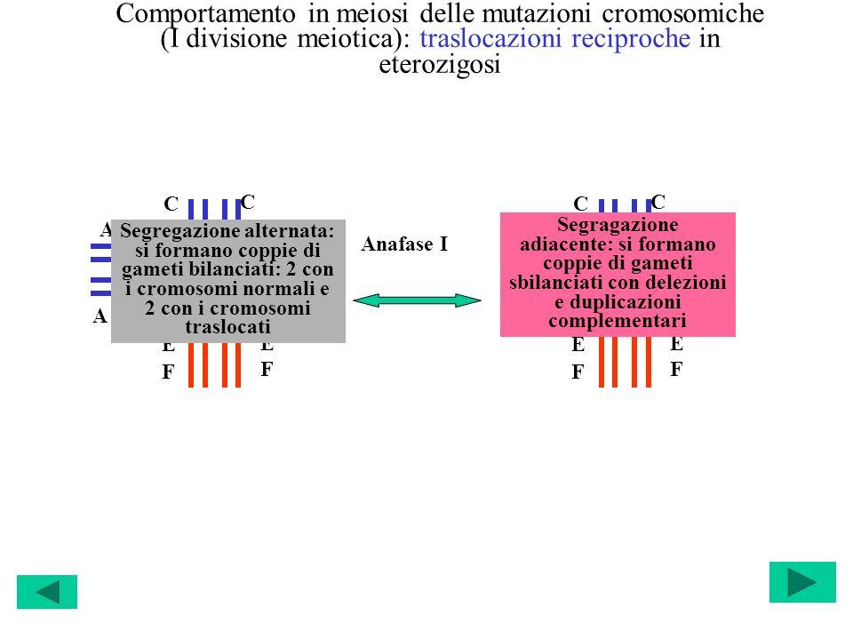 Comportamento in meiosi delle mutazioni cromosomiche (I divisione meiotica): traslocazioni reciproche in eterozigosi