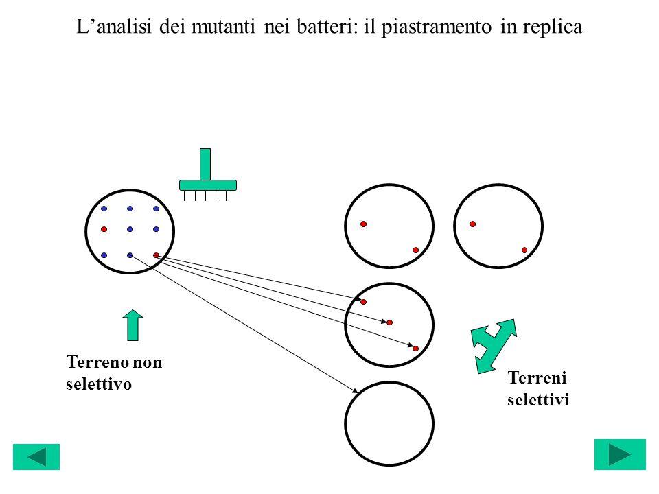 L'analisi dei mutanti nei batteri: il piastramento in replica