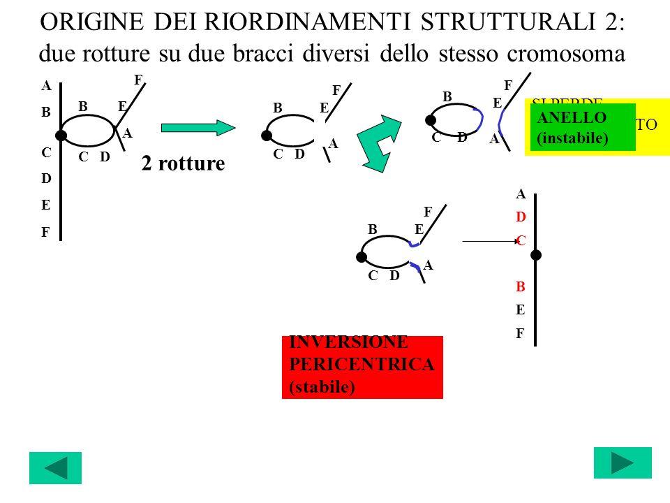 ORIGINE DEI RIORDINAMENTI STRUTTURALI 2: due rotture su due bracci diversi dello stesso cromosoma