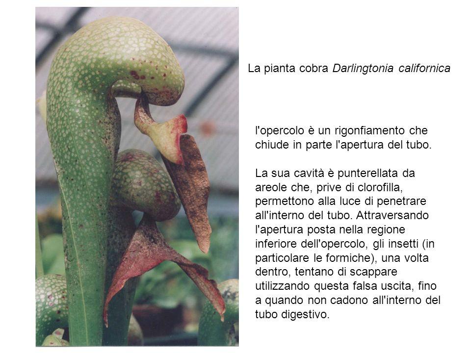 La pianta cobra Darlingtonia californica
