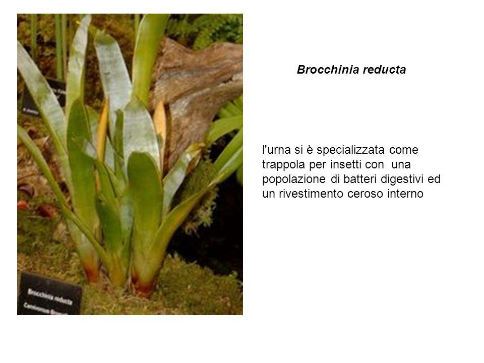 Brocchinia reducta l urna si è specializzata come trappola per insetti con una popolazione di batteri digestivi ed un rivestimento ceroso interno.