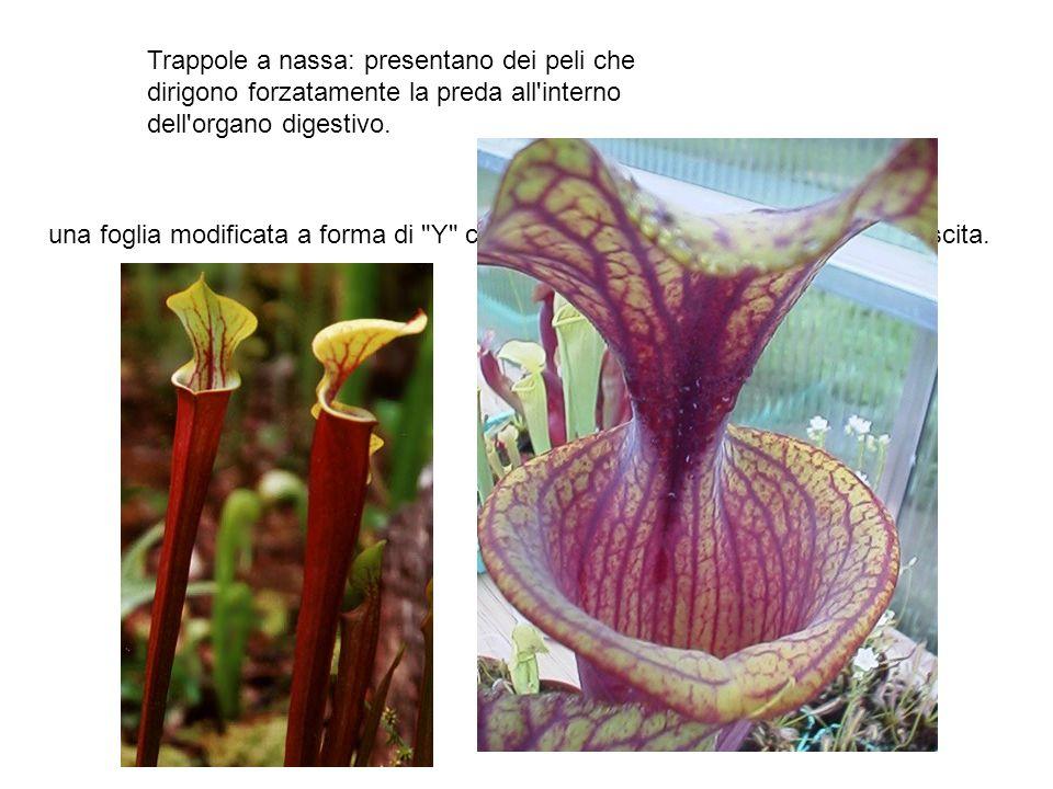 Trappole a nassa: presentano dei peli che dirigono forzatamente la preda all interno dell organo digestivo.