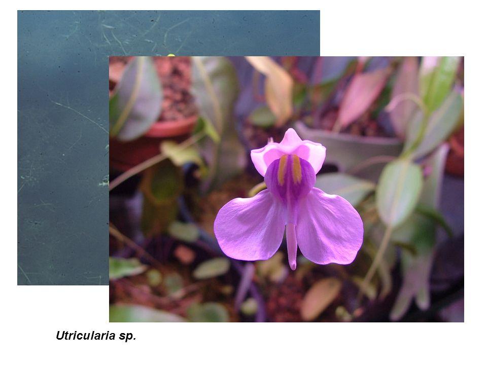 Utricularia sp.