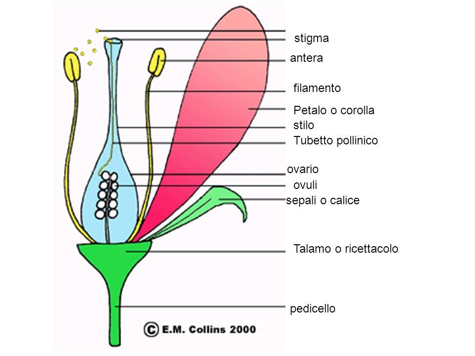 stigma antera. filamento. Petalo o corolla. stilo. Tubetto pollinico. ovario. ovuli. sepali o calice.