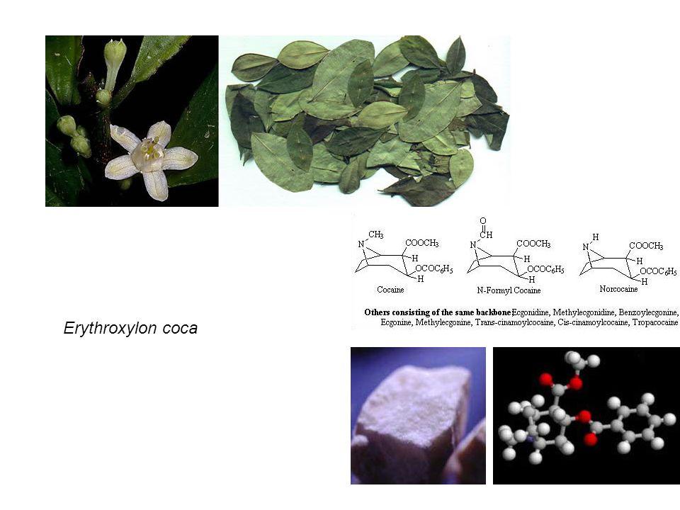 Erythroxylon coca