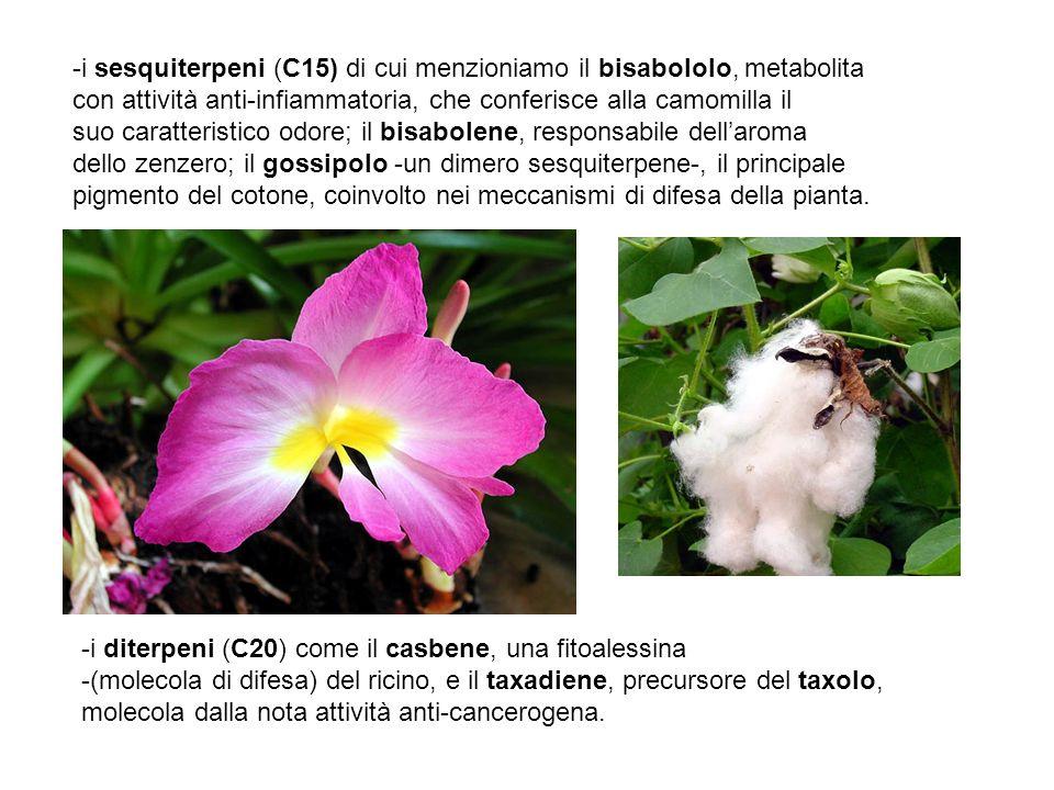 i sesquiterpeni (C15) di cui menzioniamo il bisabololo, metabolita