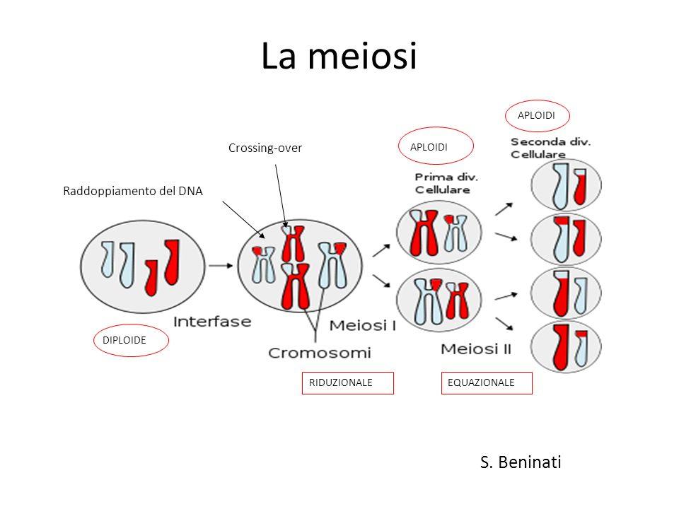 La meiosi S. Beninati Crossing-over Raddoppiamento del DNA APLOIDI