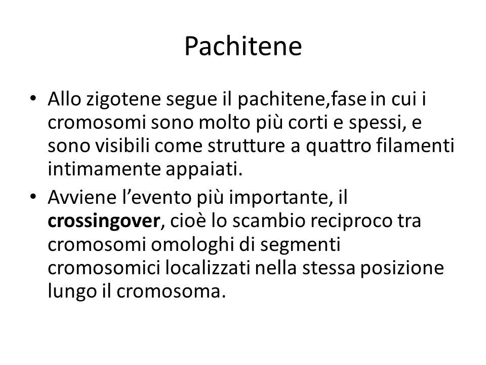 Pachitene