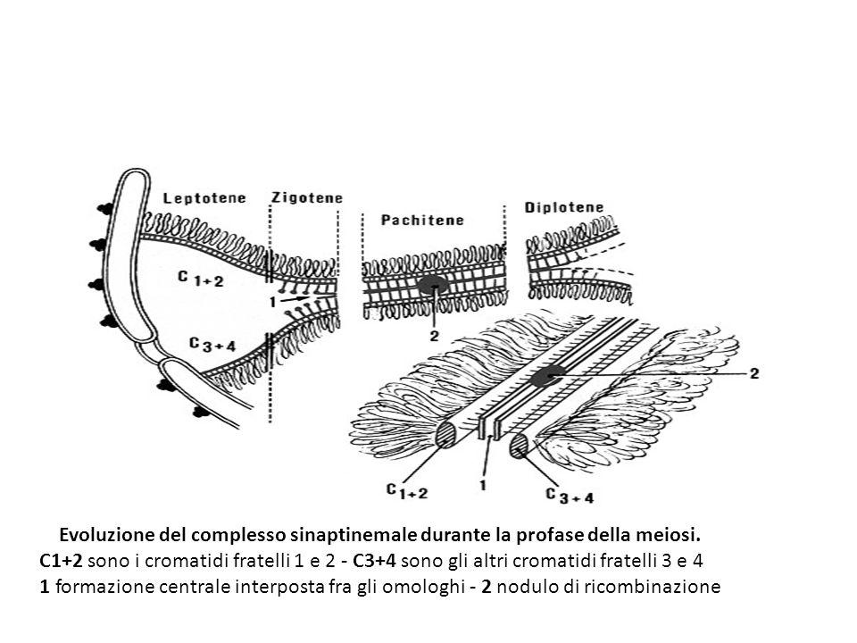 Evoluzione del complesso sinaptinemale durante la profase della meiosi