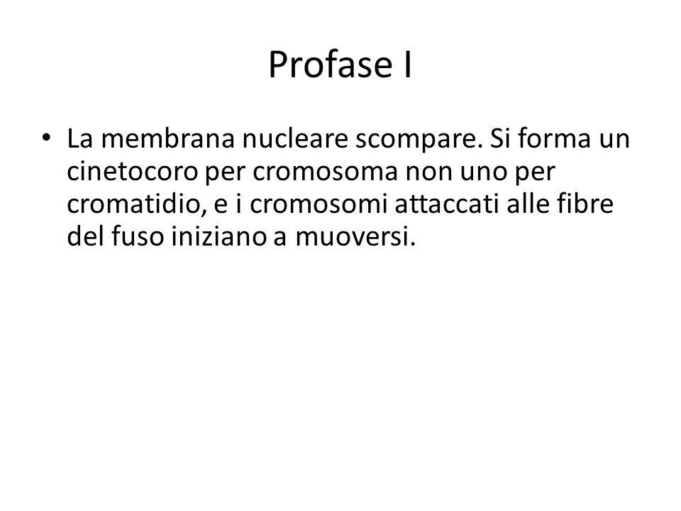 Profase I