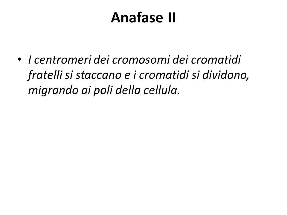 Anafase II I centromeri dei cromosomi dei cromatidi fratelli si staccano e i cromatidi si dividono, migrando ai poli della cellula.