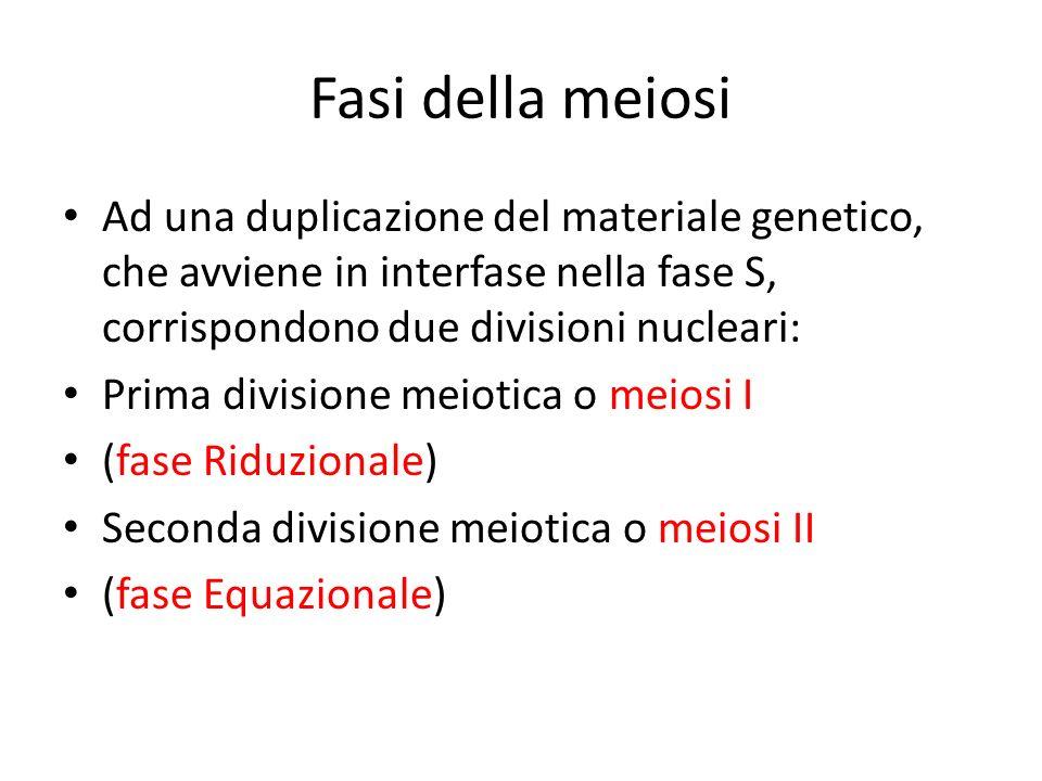 Fasi della meiosi Ad una duplicazione del materiale genetico, che avviene in interfase nella fase S, corrispondono due divisioni nucleari: