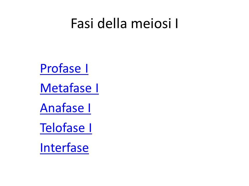 Fasi della meiosi I Profase I Metafase I Anafase I Telofase I