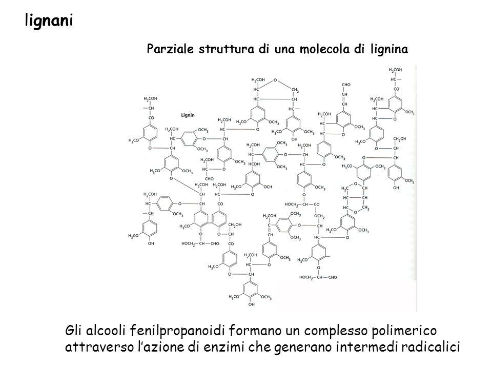 lignani Parziale struttura di una molecola di lignina.