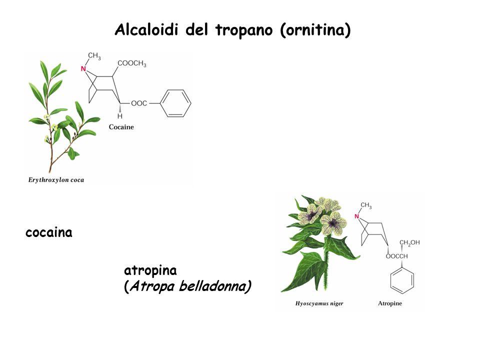 Alcaloidi del tropano (ornitina)