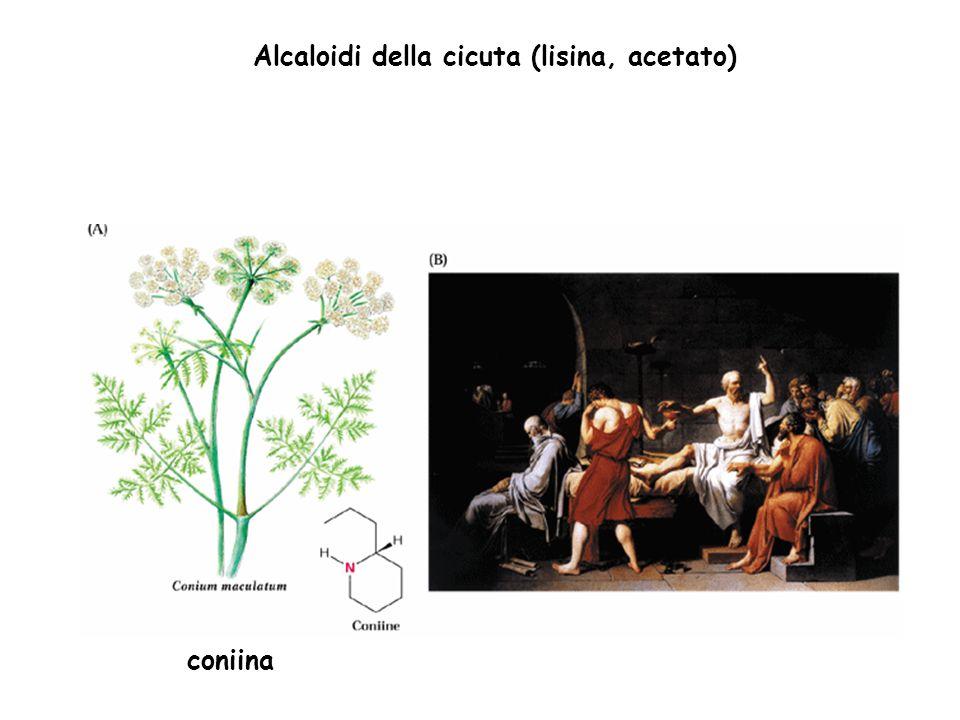Alcaloidi della cicuta (lisina, acetato)