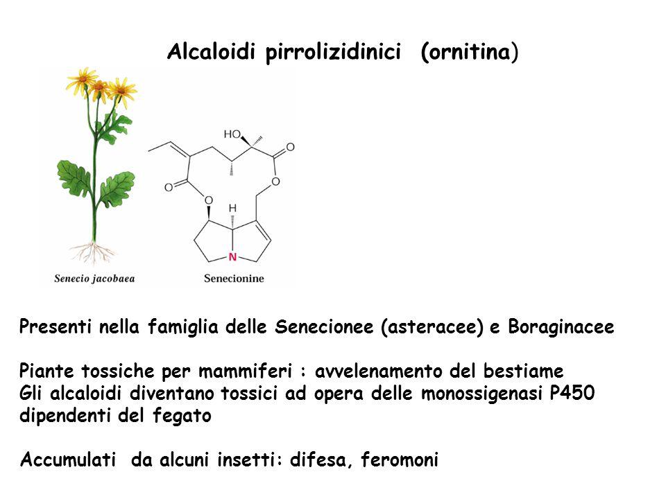 Alcaloidi pirrolizidinici (ornitina)