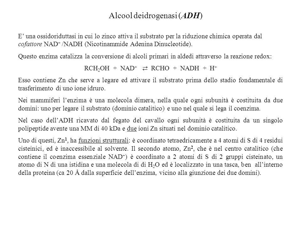 Alcool deidrogenasi (ADH)