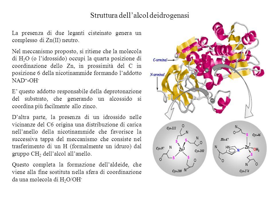 Struttura dell'alcol deidrogenasi