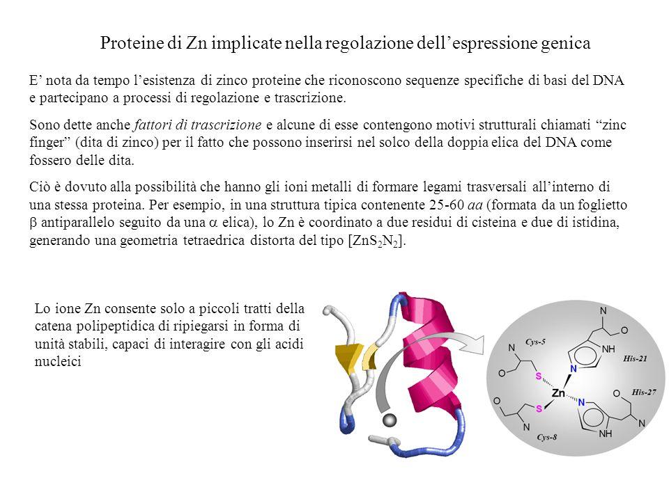 Proteine di Zn implicate nella regolazione dell'espressione genica